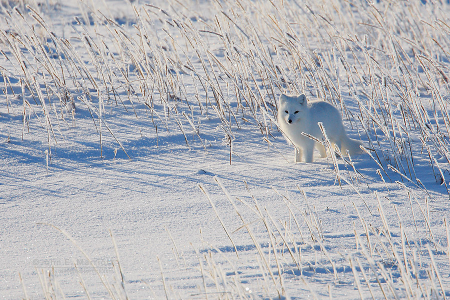 Arctic fox on the northern tundra