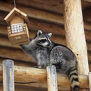 Raccoon (Procyon lotor) on a deck going after suet in a bird feeder, Montana. Captive Animal