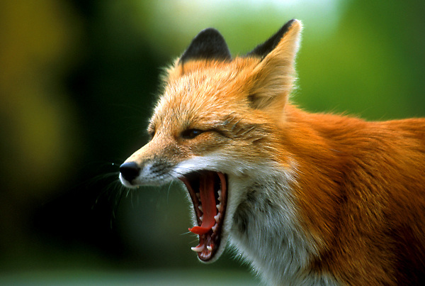 Stock photo of a Red fox (Vulpes vulpes) yawning