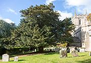 Ancient yew tree in churchyard All Saints Church, Yatesbury, Wiltshire, England, UK