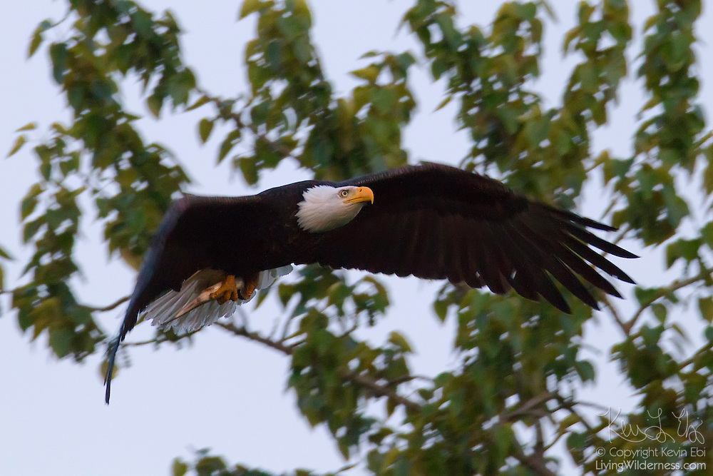 A bald eagle (Haliaeetus leucocephalus) flies a fish up to its nest in Heritage Park, Kirkland, Washington. Bald eagles nest in the park each year, fishing in neighboring Lake Washington to feed their chicks.