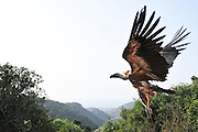 Griffon vulture (Gyps fulvus). Griffon vultures are scavenger birds with a wingspan of between 230 and 265 centimetres. They are native to mountainous areas of the Mediterranean, Africa and Asia, and feed mainly on the carcasses of large mammals. Photographed in Israel at the Carmel Mountains Hai Bar wildlife sanctuary and breeding centre. These vultures are a breeding nucleus some will soon be released back to the wild