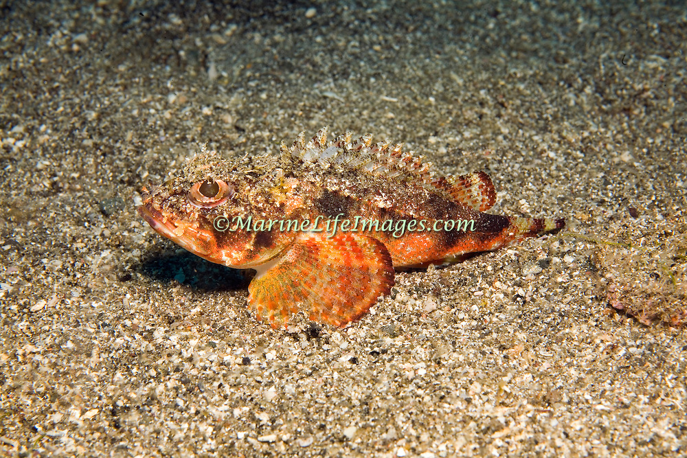 Mushroom Scorpionfish hide under rocks, ledge overhangs and other reclusive spots in Tropical West Atlantic; picture taken Grand Cayman.