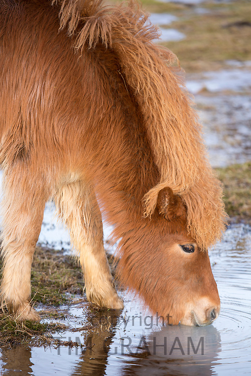 Close-up headshot portrait side view of cute shaggy-haired typical Icelandic pony drinking water in South Iceland