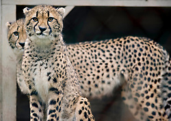 Nov. 27, 2011 - Winston, Oregon, U.S - Two cheetahs look out from an enclosure at the Wildlife Safari zoo in Winston. Wildlife safari is a 600 acre drive-thru animal park. Wildlife Safari has one of the top cheetah breeding programs in the United States. (Credit Image: © Robin Loznak/ZUMAPRESS.com)