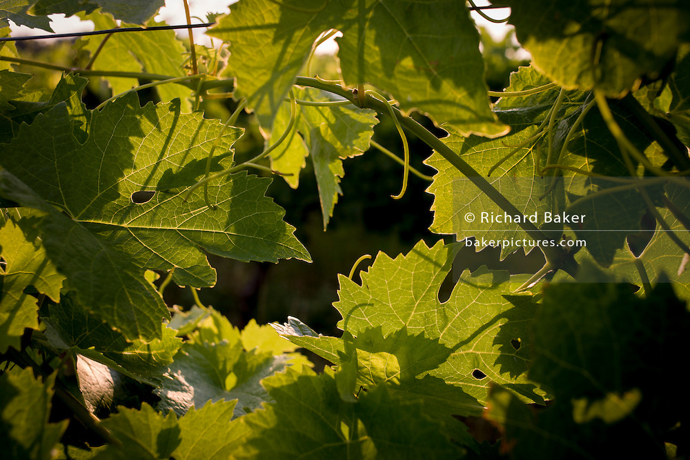 Young vine leaves for white wine in Langlade, Charente-Maritime region, France.