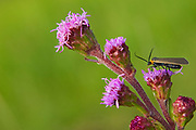 Moth on blazingstar<br />Tolstoi Tall Grass Prairie Prese<br />Manitoba<br />Canada