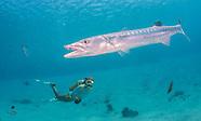 Guam, Piti Preserve Barracuda and Fish 2015