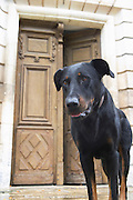One of the big black dogs looking standing on the stairs in front of the entrance door looking curiously at the photographer. Chateau de Cerons (Cérons) Sauternes Gironde Aquitaine France