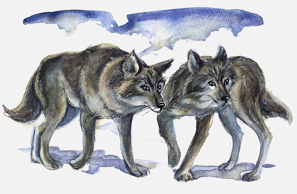 Arctic wolf, watercolor by Nana Gerasimova, ©Pat O'Hara