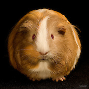 An Abyssinian Guinea Pig (Cavia porcellus) stares down the photographer.