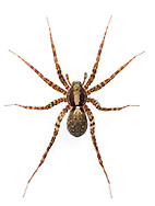 Pardosa saltans - Female. The commonest wolf spider found on sunny areas of the leaf litter in woodlands in southern Britain.
