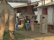 """EXCLUSIVE<br /> A maltreated Indian elephant that Sir Paul McCartney campaigned to save is still living in chains and being beaten almost two years after authorities ordered for the animal to be released to a sanctuary.<br /> The 14-year-old elephant, called Sunder, spent six years chained at the Jyotiba Temple in Kolhapur, a city south of Mumbai in India, after he was donated to the temple by a local politician. In 2012, a campaign backed by former Beatle Sir Paul was launched to free the elephant from the temple when it emerged that Sunder was being abused by his handler - the elephant was covered in scars, had an eye injury and a hole in his ear. <br /> The campaign appeared to be victorious when, that same year, the state forest department and Project Elephant, which is an Indian government scheme, ordered that Sunder should be retired to a sanctuary. But fast forward to today and the young elephant is still suffering in shocking circumstances after he was moved to an old poultry shed instead of being sent to a sanctuary to roam free. <br /> An inspection by the animal rights group People for the Ethical Treatment of Animals (PETA) carried out last month found that Sunder was unable to lie down to sleep because of heavy chains restricting  the movement of his legs. Also, no bedding material was provided and the shed he was being kept in was open on three sides, exposing Sunder to the hot sun during the day and cold weather and winds at night, explained Dr Manilal Valliyate, the director of veterinary affairs at PETA.<br /> An undercover investigation by PETA in December revealed footage of a handler violently beating Sunder with a wooden pole.<br /> """"The video reveals a malnourished-looking Sunder, chained by two legs, writhing in pain and struggling to stand as the mahout strikes him repeatedly with the pole,"""" PETA said. """"Sunder visibly recoils in fear from the weapon-wielding mahout (handler), who continues to threaten him with violence after he has stood."""" <b"""