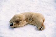 Image of a sleeping polar bear (Ursus maritimus) in a snow field near Churchill in Manitoba, Canada by Randy Wells