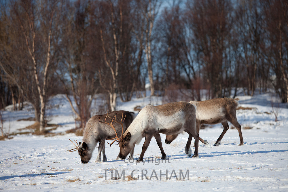 Reindeer herd grazing in the snow in arctic landscape at Kvaløysletta, Kvaloya Island, Tromso in Arctic Circle Northern Norway