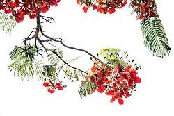Royal Poinciana Tree Delonix Regia #15