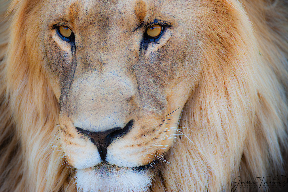 A close-up portrait of the face of a dominant male lion (Panthera Leo), Khwai River, Botswana,Africa