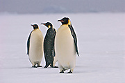 Three single adult emperor penguins stand around.