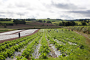 Strawberry pickers on Riverford organic farm, Devon, UK food industry