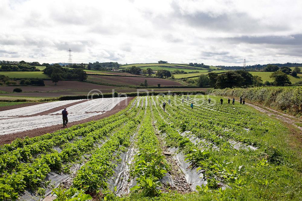 Strawberry pickers on Riverford organic farm, Devon, UK food industry