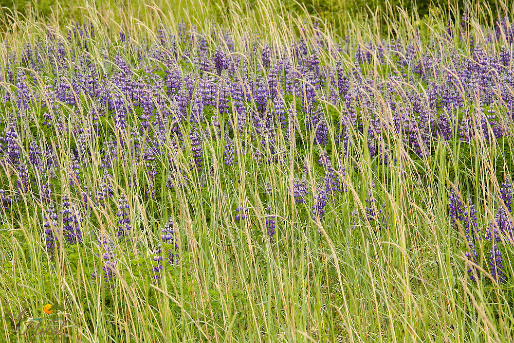 Lupine and grass, alaska