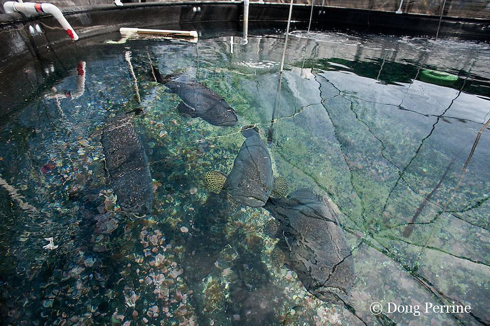 brood stock of giant grouper, brindle bass, or Queensland groper, Epinephelus lanceolatus, at Kona Blue Water Farms aquaculture hatchery facility at NELHA, Kona, Hawaii