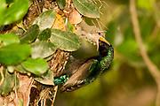 Male Palestine Sunbird or Northern Orange-tufted Sunbird (Cinnyris oseus) feeding young hatchlings in a nest Israel, Spring April