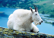 """A mountain goat rests at Hidden Lake in Glacier National Park, Montana, USA. The mountain goat (Oreamnos americanus, or Rocky Mountain Goat) is a large-hoofed mammal found only in North America. It is an even-toed ungulate in the family Bovidae, in subfamily Caprinae (goat-antelopes), in the Oreamnos genus, but is NOT a true """"goat"""" (or Capra genus). Since 1932, Canada and USA have shared Waterton-Glacier International Peace Park, which UNESCO declared a World Heritage Site (1995) containing two Biosphere Reserves (1976)."""
