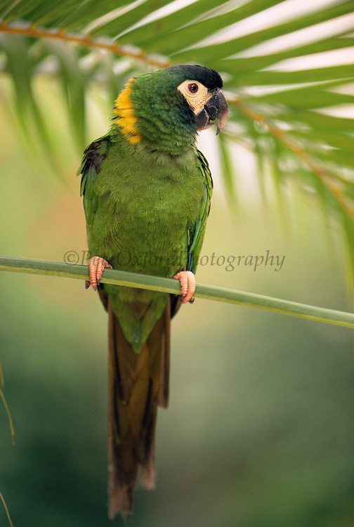 Golden-collared macaw<br />Propyrrhura auricollis<br />Bahia State,  BRAZIL.  South America<br />Range: ne Bolivia, Paraguay to sw Brazil and Argentina