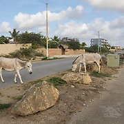There are hundreds of free roaming donkeys on Bonaire, which are beloved by many locals tourists. They are, however, causing widespread habitat degredation on Bonaire by preventing trees and vegetation from regrowing.