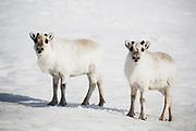 Two Svalbard reindeer (Rangifer tarandus platyrhynchus) standing on the snow ,Svalbard, Norway