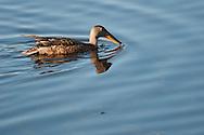 Northern Shoveler swimming across Eldridge Lake at Eldridge Park in Elmira, NY