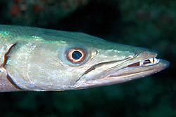 great barracuda, Sphyraena barracuda, .City of Washington wreck at night, .Key Largo, Florida Keys National .Marine Sanctuary, Florida (Atlantic).