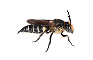 Shiny-vented Sharp-tailed Bee - Coelioxys inermis