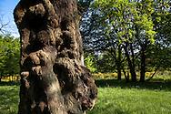 Europa, Deutschland, Nordrhein-Westfalen, Troisdorf, knorriger Baum in der Wahner Heide. - <br /> <br /> Europe, Germany, Troisdorf, North Rhine-Westphalia, gnarled tree in the Wahner Heath.