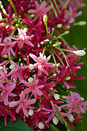 Combretum indicum (Rangoon creeper) cascading pink star shaped flowers in Hyde Park Garden, St. George's, Grenada, The West Indies, The Caribbean
