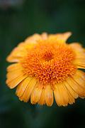Calendula officinalis 'Princess' - pot marigold