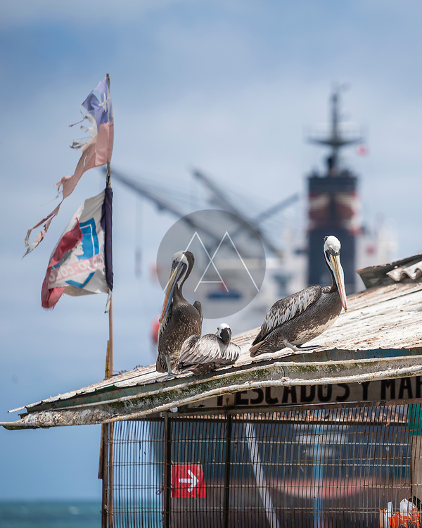 San Antonio, Chile - 12 February 2019: View of Pelican birds standing on the rooftop at San Antonio fish market, Chile.
