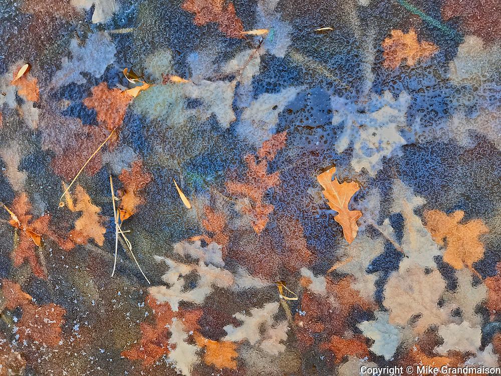 Autumn leaves frozen in pond inthe Seine River Forest<br />Winnipeg<br />Manitoba<br />Canada