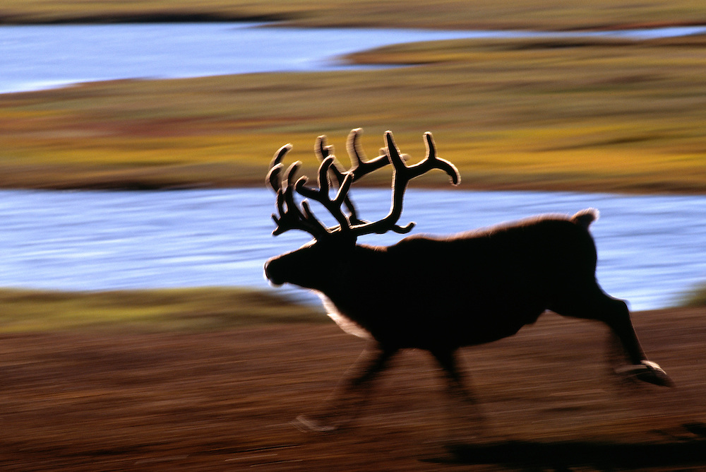 Reindeer, Rangifer tarandus, on the tundra permafrost, Rangifer tarandus, Chukotka, Siberia, Russia