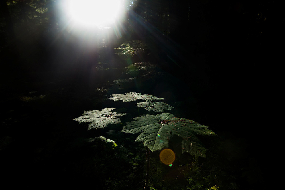 Rays of morning sunlight illuminate a devil's club (Oplopanax horridus) in the Nooksack River drainage, Mount Baker-Snoqualmie National Forest, Washington.