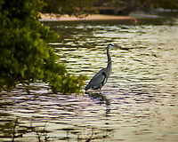 Great Blue Heron hunting at Fort DeSoto park in St. Petersburg, Florida. Image taken with a Nikon N1V2 camera and 180 mm f/2.8 lens (ISO 160, 180 mm, f/2.8, 1/500 sec).