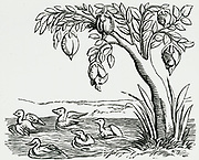 'Barnacle geese (Branta leucopsis) hatching out of 'eggs' on a tree. Because they breed in the Arctic their nests were never seen, so legends arose.  Woodcut from ''Cosmographia'', Basle, 1552 by Conrad Gesner.'