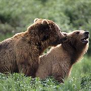 Alaskan Brown Bear, (Ursus middendorffi) Adult male mounts and mates with female. Alaska Peninsula.