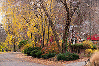 Birch trees with cascades of golden leaves at Tavern On The Green in Central Park, Dec. 1, 2020.
