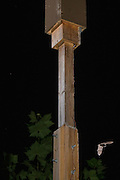 "An indiana bat (Myotis sodalis) flies in the vicinity of its artificial day roost shortly after emerging. Indianapolis, Indiana. These ""bat boxes"" were created for a research project managed by the Center for Bat Research at Indiana State University to mitigate for lost habitat with this highly endangered species."