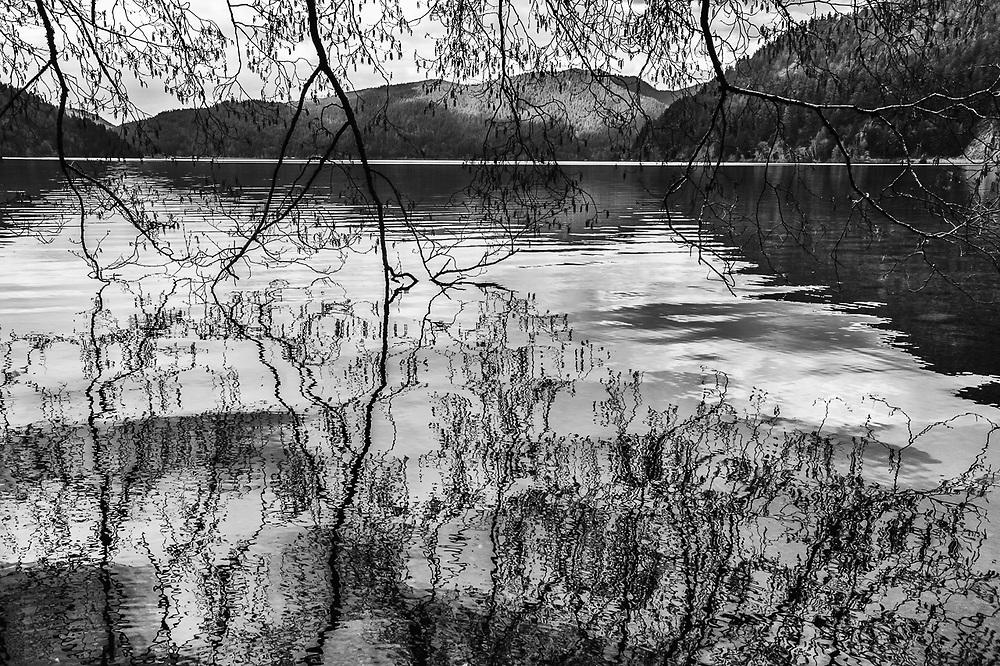 Pacific Red Alder (Alnus rubra), Lake Crescent, Olympic National Park, Washington, USA