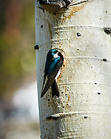 Tree Swallow. Rocky Mountain National Park. Image taken with a Nikon D300 camera and 80-400 mm VR lens