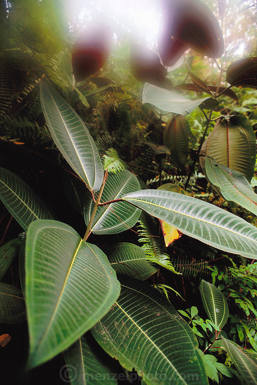 Miconea, an invasive weed near Hana, Maui, Hawaii. USA. Miconia has taken over large sections of mountainous forest near Hana on Maui. These plants ?escaped? from a nursery where they were sold as ornamental landscaping plants..