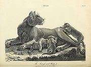 Felis - The Lioness with Whelps Copperplate engraving From the Encyclopaedia Londinensis or, Universal dictionary of arts, sciences, and literature; Volume VII;  Edited by Wilkes, John. Published in London in 1810